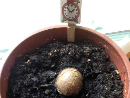 Frisch eingepflanzter Avocadokern