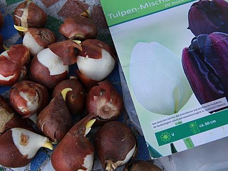 Tulpenzwiebeln und Verpackung mit Foto der blühenden Tulpen