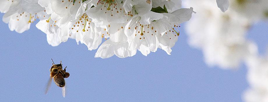 Biene im Anflug an Kirschblüten, sammelt Pollen und Nektar. Foto: Kirsten Bringmann