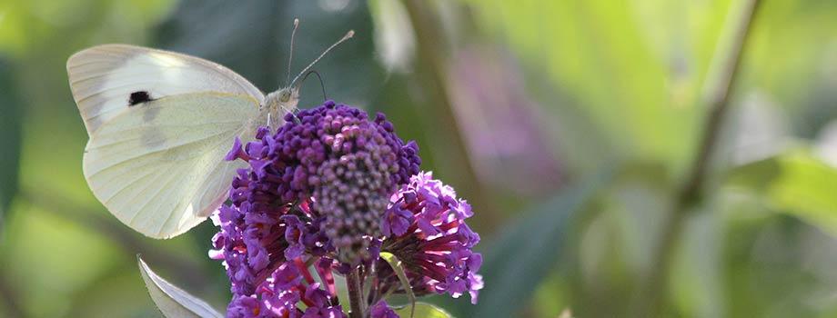 Weißer Schmetterling auf violettem Flieder fotografiert von Kirsten Bringmann