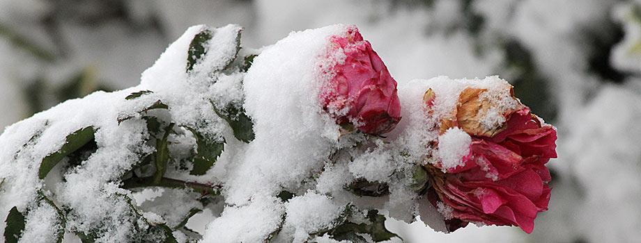 Letzte Blüten im Dezember: zwei Rosenblüten im Schnee