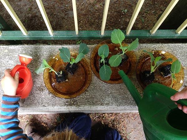 Kohlrabi-Pflänzchen werden gegossen. (Grüne Giesskanne)