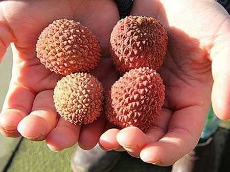 Kinderhände mit Litschi-Früchten