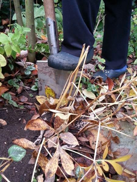 Meine Schwiegermutter gräbt eine Pfingstrose aus, teilt sie und gräbt dann ein Teil wieder ein. Den anderen Teil hat sie dem Kinder-Gartenrojekt gespendet.