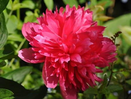 Blühende Paeonie, besser unter Pfingstrose bekannt