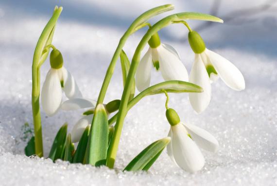 Schneeglöckchen - Galanthus nivalis im Schnee